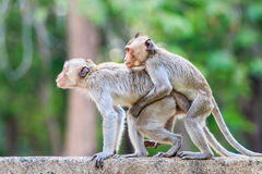Monkeys (Crab-eating macaque) playing on floor Royalty Free Stock Photography