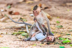 Monkeys (Crab-eating macaque) playing on ground Royalty Free Stock Photo