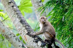Monkeys crouching on a palm tree trunk. His eyes cautiously viewed conditions surrounding. This is Long-tailed macaques Royalty Free Stock Photo