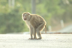 Monkeys cute. Royalty Free Stock Images
