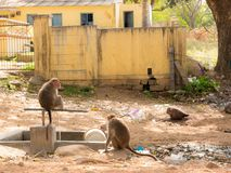 Monkeys drink water from a fountain in Mysore, India stock image