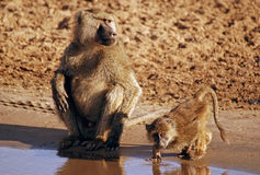 Monkeys Drinking. Two monkeys drinking in Ngorongoro National Park in Tanzania royalty free stock image