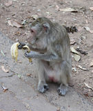 Monkeys eat bananas Stock Photography