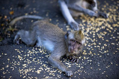 Monkeys Eat Food Royalty Free Stock Photography