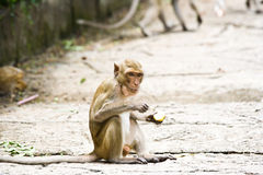 Monkeys eat fruit. Royalty Free Stock Photography