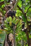 Monkeys eating banana at Amazonas jungle. Monkeys eating banana and playing at Amazonas jungle in Leticia town, Colombia Royalty Free Stock Photo