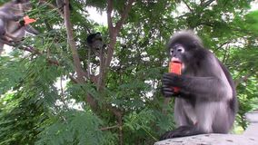 Monkeys eating fruit stock video footage