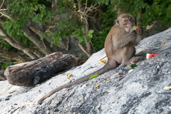 Monkeys eating fruits on Monkey Beach, Phi Phi Don  island Stock Images