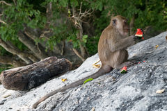 Monkeys eating fruits on Monkey Beach, Phi Phi Don  island Stock Photo