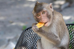 Monkeys eating Royalty Free Stock Photography