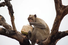 Monkeys eating Royalty Free Stock Photos