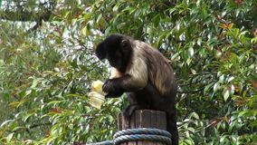 Monkeys Eating, Primates, Zoo Animals, Wildlife, Nature stock video footage