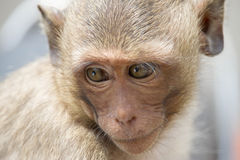 Monkeys el retrato Fotografía de archivo libre de regalías