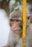 Monkeys el retrato Fotografía de archivo