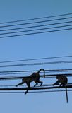 Monkeys in the electricity line. Two Monkeys are climbing in the power line in Thailand Royalty Free Stock Image