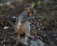 Monkeys Familie Stockbild