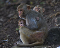 Monkeys Familie Stockfotos