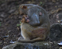 Monkeys Familie Lizenzfreies Stockbild