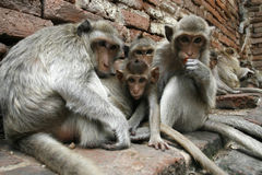 Monkeys familly. In a park at Asia Royalty Free Stock Photo