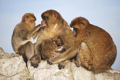Monkeys family Stock Images