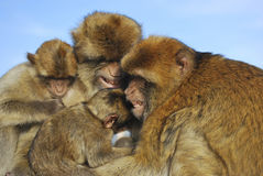 Monkeys family Royalty Free Stock Photos