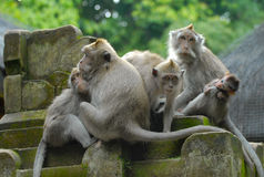 Monkeys family Stock Photos
