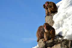 Monkeys. A Family of Monkeys at Asahiyama zoo Royalty Free Stock Photos