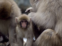 Monkeys. A family of macaques in Japan Royalty Free Stock Images