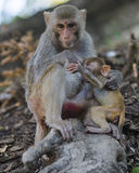 Monkeys family Royalty Free Stock Images