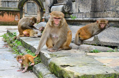 Monkeys family Stock Image