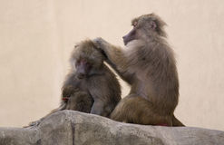 Monkeys family Stock Photography
