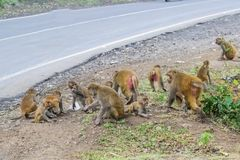 Monkeys Feeding on Highway. Monkeys Rhesus Macaque Feeding on busy Highway of Central India near Indore Madhya Pradesh . Foolish people throws food items on road stock image