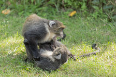 Monkeys fighting Stock Photos