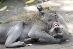 Monkeys fighting. Two macaques play fighting in Bali, Indonesia Stock Photo
