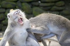 Monkeys fighting. Two macaques play fighting in Bali, Indonesia Stock Photos