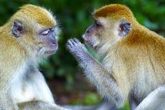 Monkeys flüsternde Geheimnisse Lizenzfreie Stockbilder