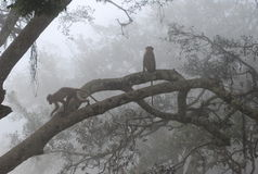 Monkeys and Foggy hills Royalty Free Stock Photo
