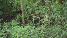 Monkeys in the forest. stock footage