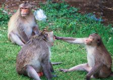 Monkeys are fun to play. Royalty Free Stock Photo