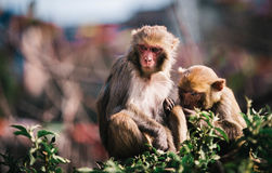 Monkeys in a Garden Royalty Free Stock Image