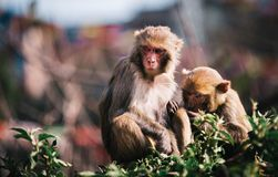 Monkeys in a Garden Royalty Free Stock Images