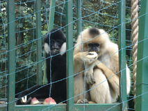 Monkeys- Gibbons. Two monkeys - Gibbons - sit and eat fruit in a cage at the zoo Royalty Free Stock Photo