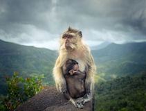 Monkeys at the Gorges viewpoint. Mauritius. Royalty Free Stock Images