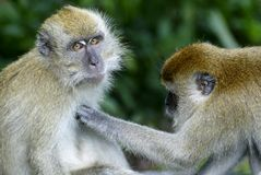 Monkeys grooming Royalty Free Stock Photos