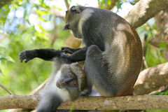 Monkeys grooming. Sykes monkey enjoying a grooming session with friend Stock Images