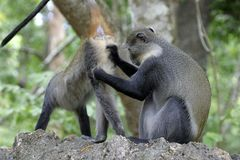 Monkeys Grooming Stock Photos