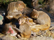 Monkeys grooming. Monkeys spend hours picking fleas out of each others fur royalty free stock images