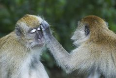 Monkeys grooming another Stock Images