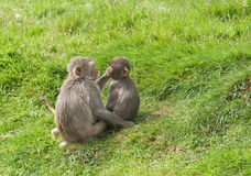 Monkeys grooming each other Stock Images