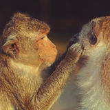 Monkeys grooming Stock Photo